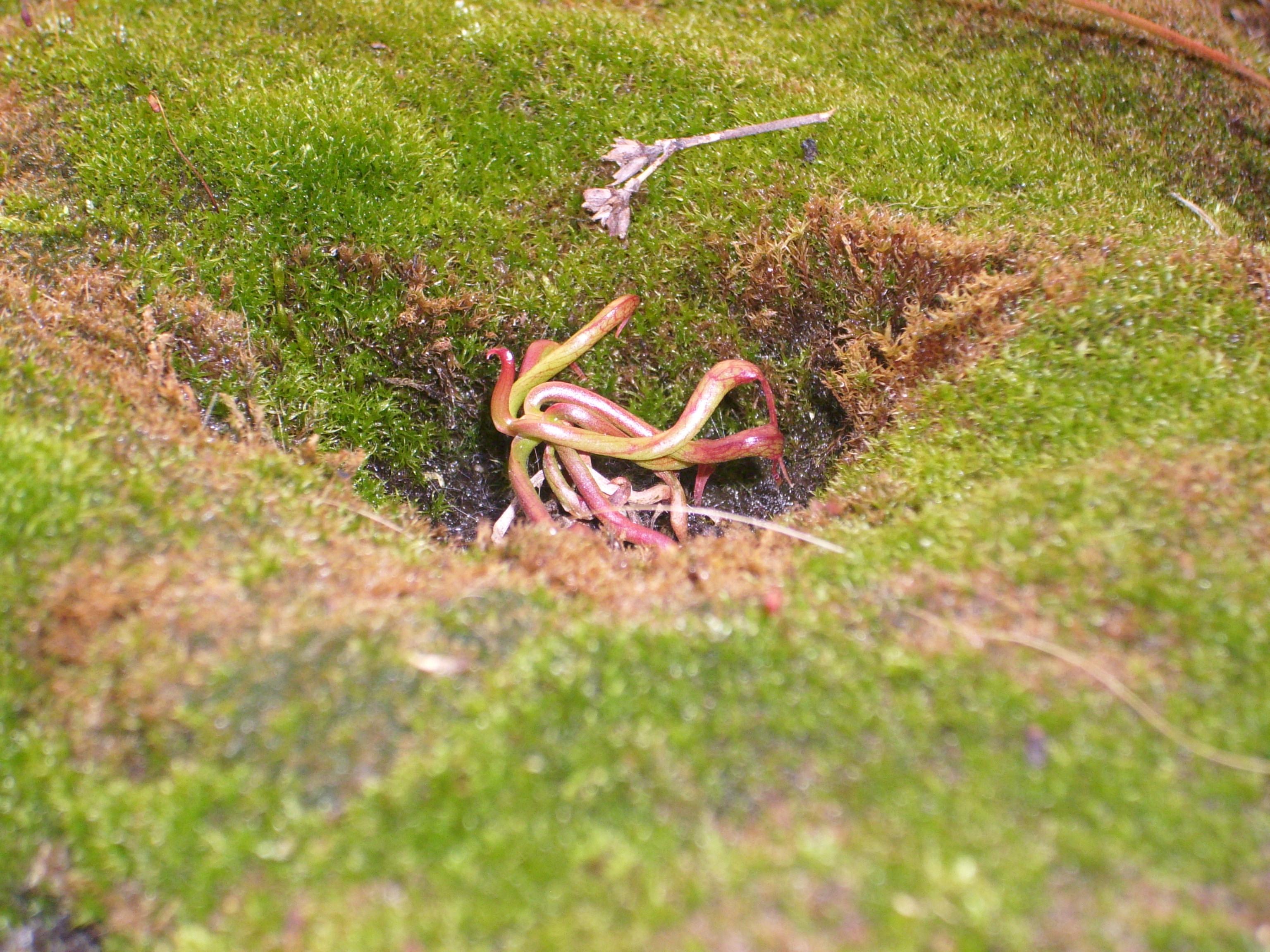 Utricularia Minor Darlingtonia und Utric...